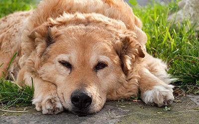 Suha hrana za starije pse